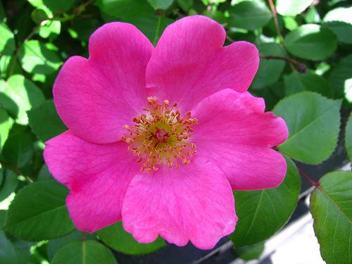 Risultati immagini per wild rose