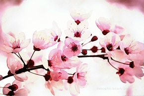 Cherry Blossom watercolour art